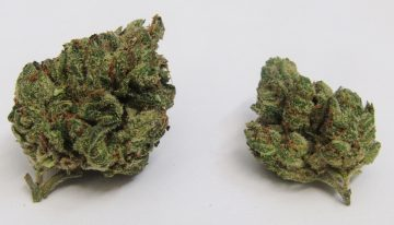 Super Silver Haze with Legendary Genetics is Popular Cannabis Strain